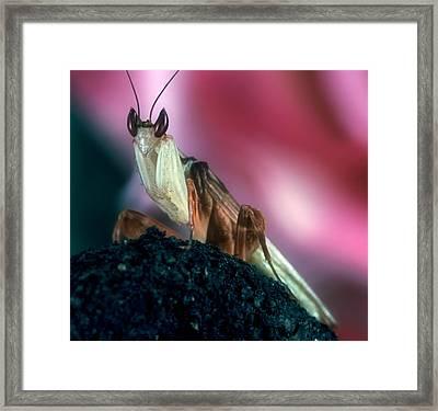 Orchid Male Mantis  Hymenopus Coronatus  Portrait #4 Of 9 Framed Print