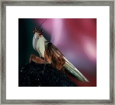 Orchid Male Mantis  Hymenopus Coronatus Portrait  #6 Of 9 Framed Print by Leslie Crotty