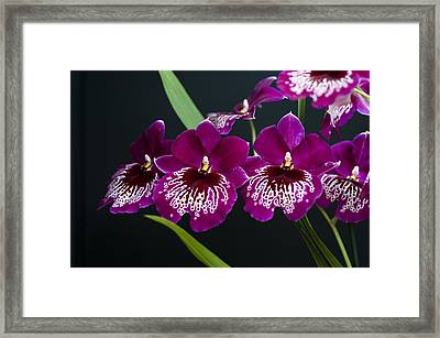 Framed Print featuring the photograph Orchid Miltonia by Lana Enderle