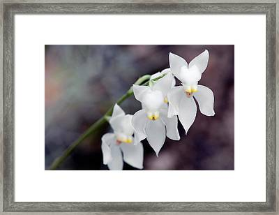 Orchid (osmoglossum Pulchellum) Framed Print by Sam K Tran/science Photo Library