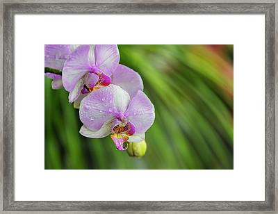 Orchid, Paramaribo, Suriname (large Framed Print by Keren Su