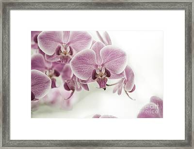 Orchid Pink Vintage Framed Print by Hannes Cmarits