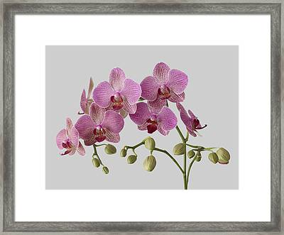 Orchid Plant On Grey Background Framed Print by William Turner