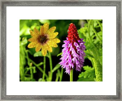 Orchid Primrose (primula Vialii) Flowers Framed Print by Ian Gowland