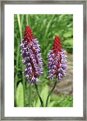 Orchid Primrose (primula Vialii) Framed Print by Neil Joy