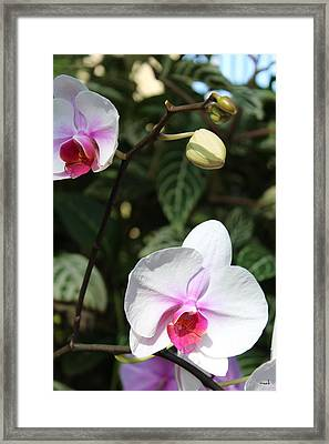 Orchid Three Framed Print by Mark Steven Burhart