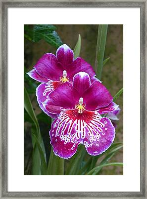 Orchid Twins Framed Print