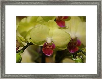 Orchids 181 Framed Print