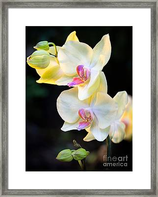 Orchids 2 Framed Print by Eyzen M Kim