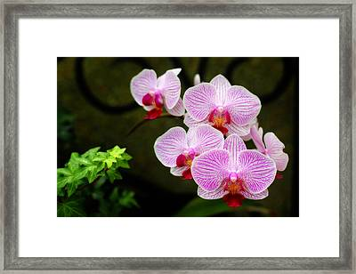 Orchids And Ivy Framed Print