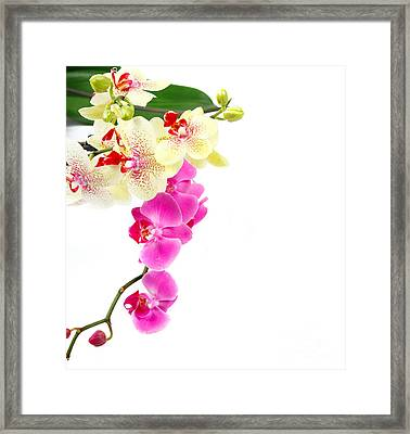Orchids Framed Print by Boon Mee