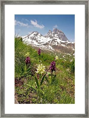 Orchids (dactylorhiza Sambucina) Framed Print by Bob Gibbons