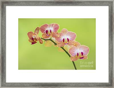 Orchids Framed Print by Diane Diederich
