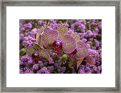 Orchids In Pink Flowers Framed Print by Garry Gay