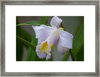 Orchids In The Wild Framed Print by Blair Wainman