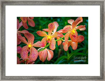Orchids Framed Print by Inge Johnsson