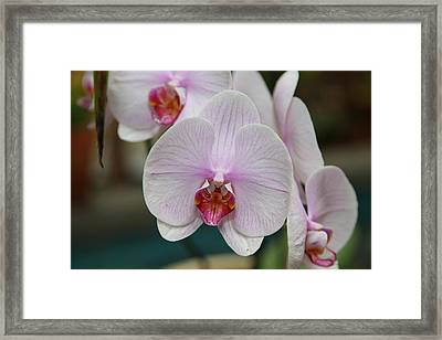Orchids - Us Botanic Garden - 011312 Framed Print by DC Photographer
