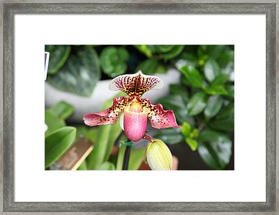 Orchids - Us Botanic Garden - 011332 Framed Print by DC Photographer