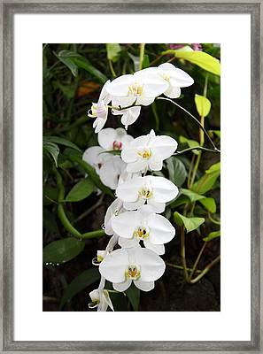 Orchids - Us Botanic Garden - 011339 Framed Print by DC Photographer
