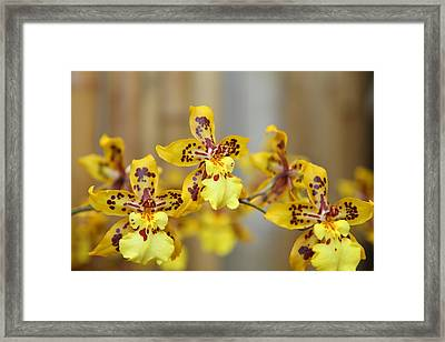 Orchids - Us Botanic Garden - 011345 Framed Print by DC Photographer