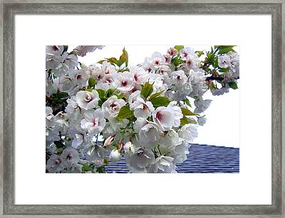 Oregon Cherry Blossoms Framed Print