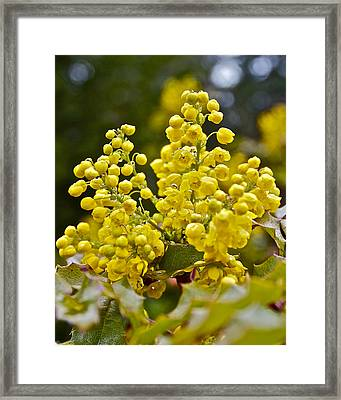Framed Print featuring the photograph Oregon Grape Blossoms by Todd Kreuter