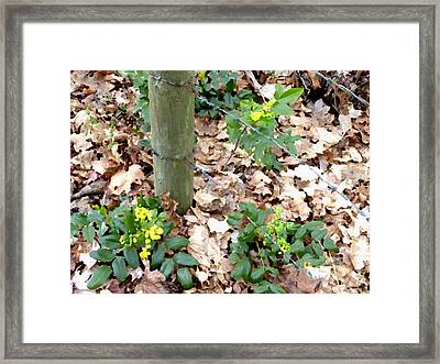 Oregon Grape Painting Framed Print by Will Borden