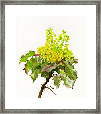 Oregon Grape White Background Framed Print by Sharon Freeman