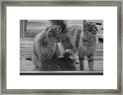 Oregon Kitties Framed Print by Daniel Kasztelan