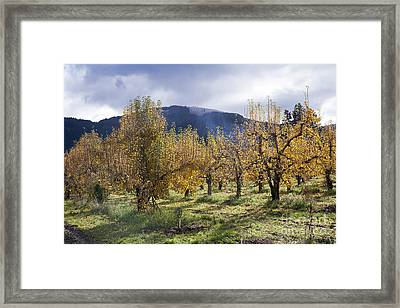 Oregon Orchard Framed Print by Peter French