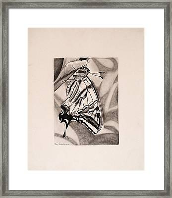 Oregon Swallowtail Butterfly  Framed Print
