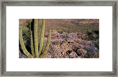 Organ Pipe Cactus Az Framed Print by Panoramic Images