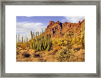 Organ Pipe Cactus National Monument Afternoon Framed Print by Bob and Nadine Johnston