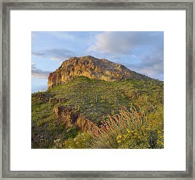Organ Pipe Cactus Framed Print by Tim Fitzharris