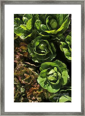 Organic Lettuce Framed Print by Craig Lovell