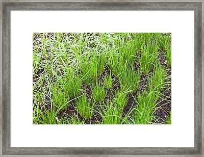 Organic Onion Crop Framed Print