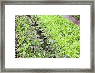 Organic Salad Crops Framed Print by Ashley Cooper