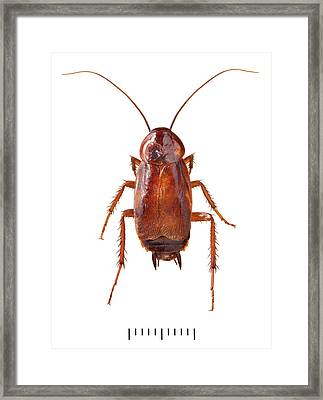 Oriental Cockroach Framed Print by Natural History Museum, London