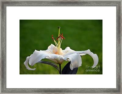 Oriental Hybrid Lily Framed Print