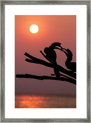 Oriental Pied Hornbills Framed Print by Paul Williams