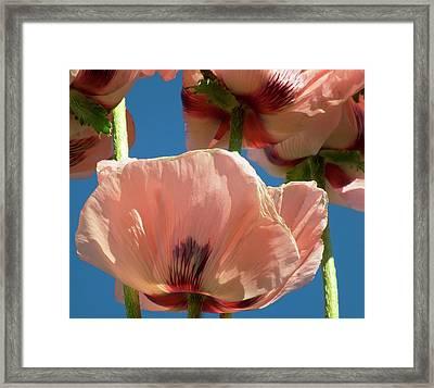 Oriental Poppies (orientale Papaver) Framed Print by Ian Gowland