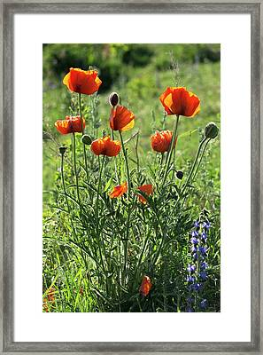 Oriental Poppies (papaver Orientale) Framed Print by Bob Gibbons