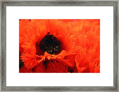 Oriental Poppy Framed Print by Gerry Bates