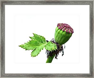 Oriental Poppy Seed Head And Leaf Framed Print