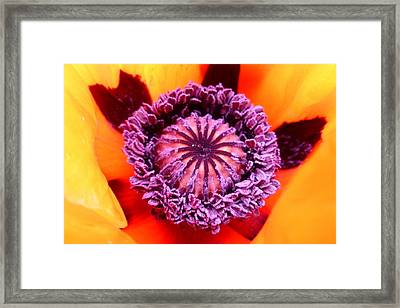 Oriental Poppy Framed Print by The Creative Minds Art and Photography