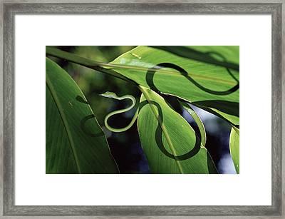 Oriental Whip Snake Ahaetulla Prasina Framed Print