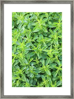 Origanum Vulgare Framed Print