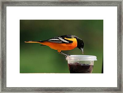Oriole At Feeder Framed Print
