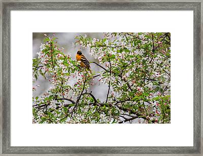 Oriole In Crabapple Tree Framed Print by Bill Wakeley