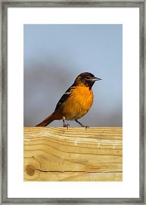 Oriole Iv Framed Print